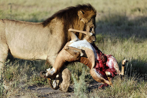 lion-carrying-impala-500.jpg